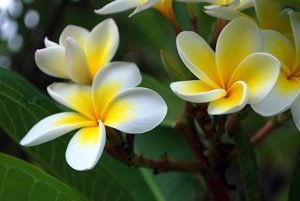 stock frangipani